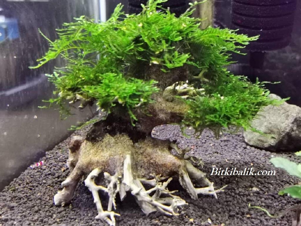 Moss Ağacı 1