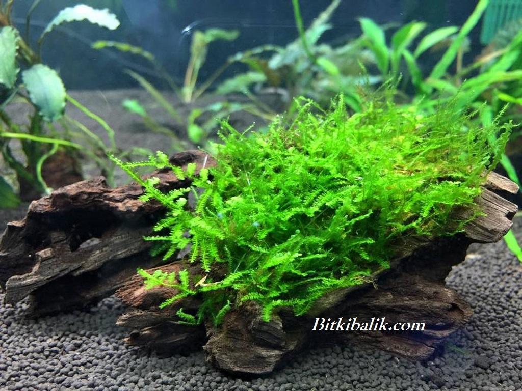 Köke Sarılmış Moss