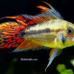 Kakadu Ciklet Balığı