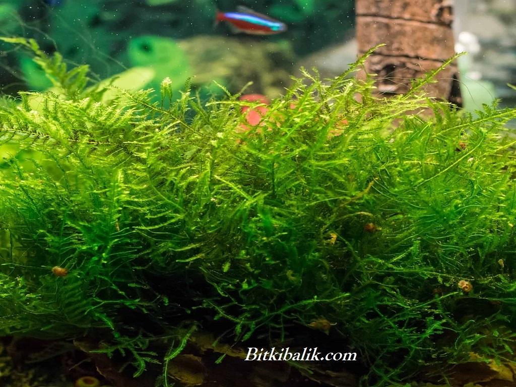 Kayaya Sarılmış Moss