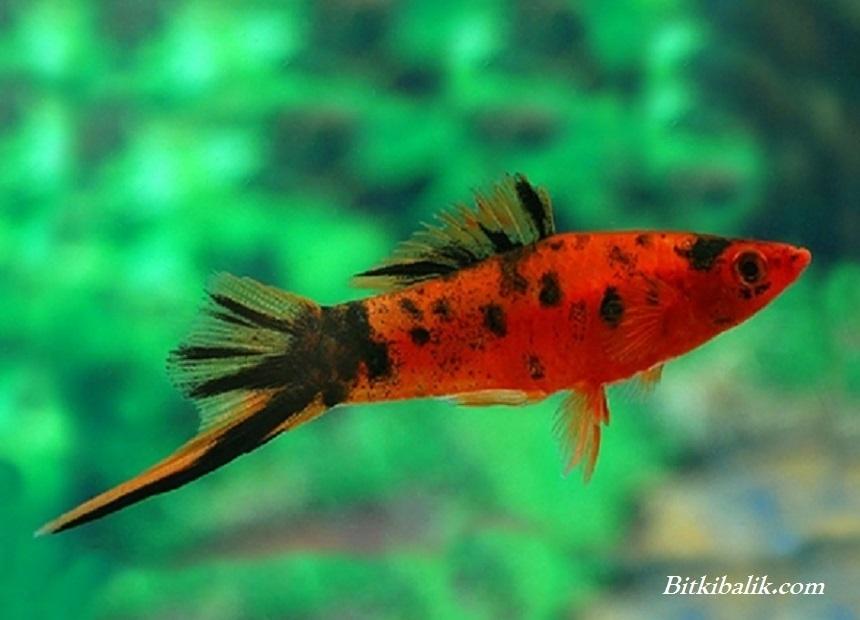 Kılıç Kuyruk Balığı