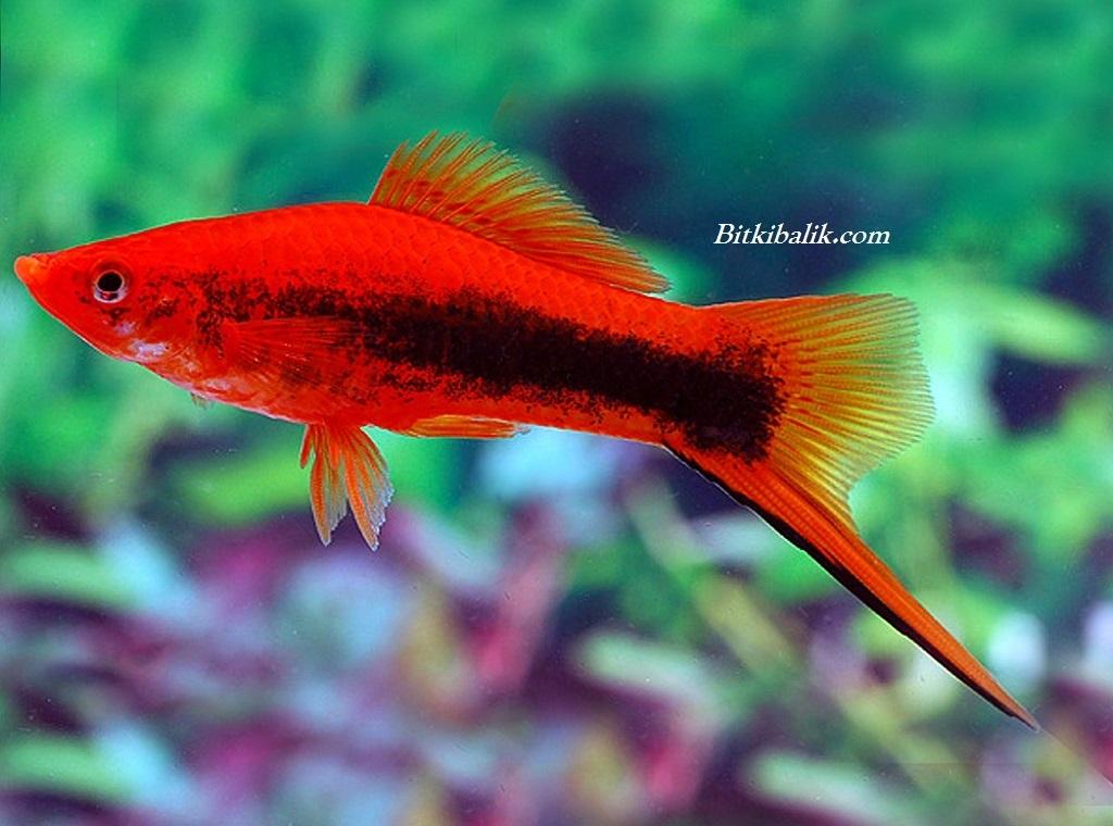 Kılıçkuyruk Balığı Akvaryumu