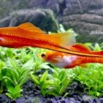 Kılıçkuyruk Balığı Cinsiyeti Nasıl Anlaşılır