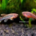 Killfish Üretimi Nasıl Yapılır
