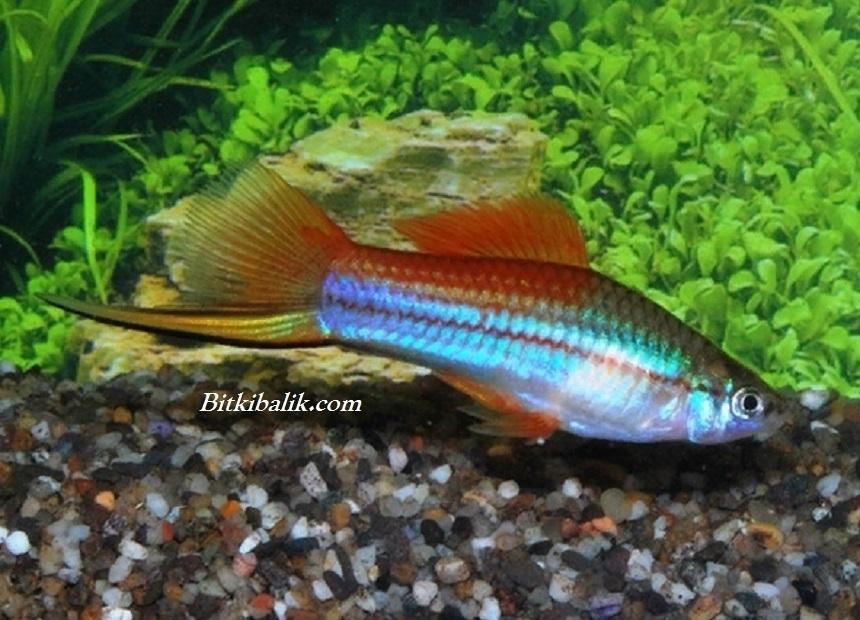 Kısa Kuyruklu Kılıç Balığı 2