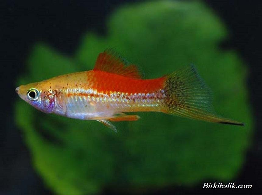 Kısa Kuyruklu Kılıç Balığı 3