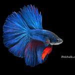 Mavi Kırmızı Betta Balığı