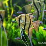 Melek Balığı Hangi Balıklarla Yaşar