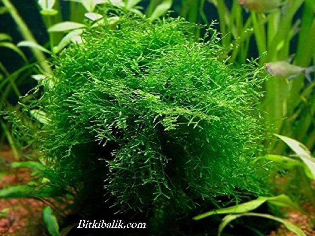 Moss Ağacı 2