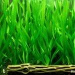 Nitrat Emen Akvaryum Bitkileri