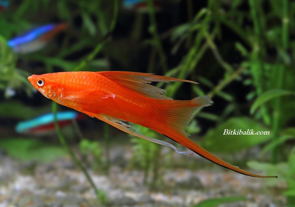 Uzun Yüzgeçli Kılıç Kuyruk Balığı