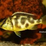 Yaşayan Kaya Ciklet Balığı