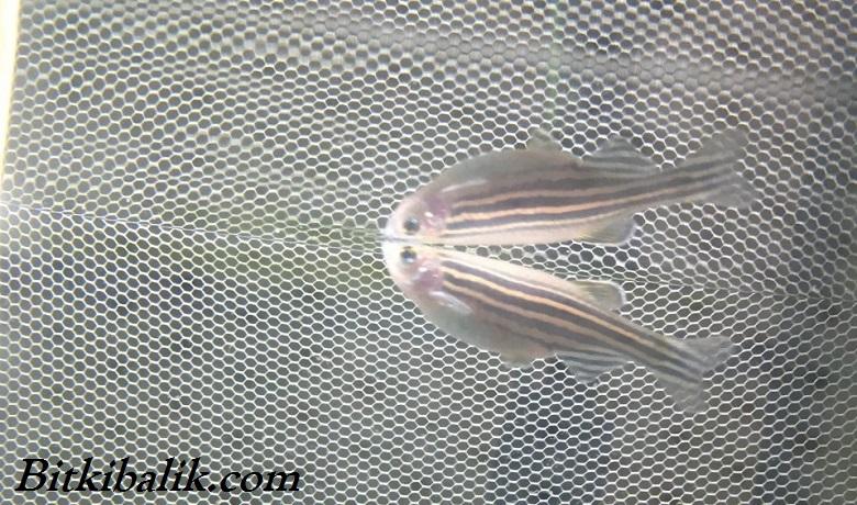 Zebra Balığı Üretimi Damızlık Ağı Yöntemi