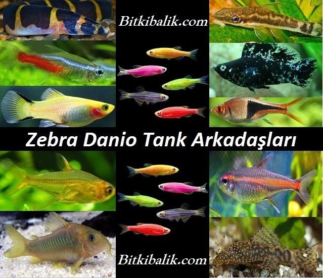 Zebra danio Tank Arkadaşları