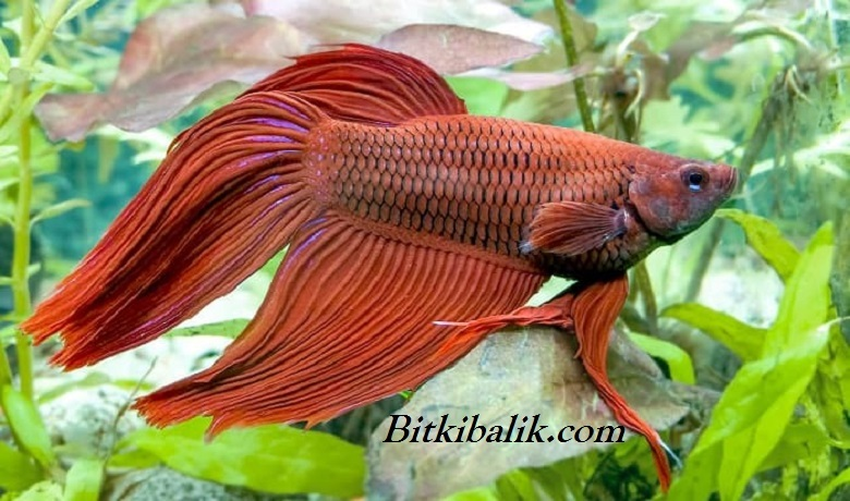 Bitki Akvaryumunda Beslenen Beta Balığı