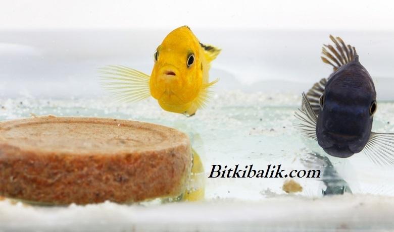 Ciklet Balığı Tatil Yemi