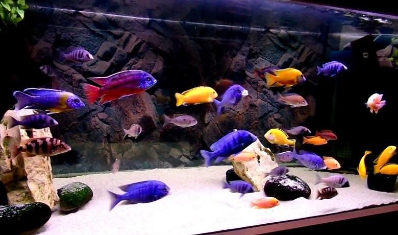 Ciklet Balıkları Kaç Gün Aç Kalabilir?