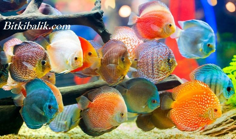 Discus Balığı Kaç Gün Aç Kalabilir?