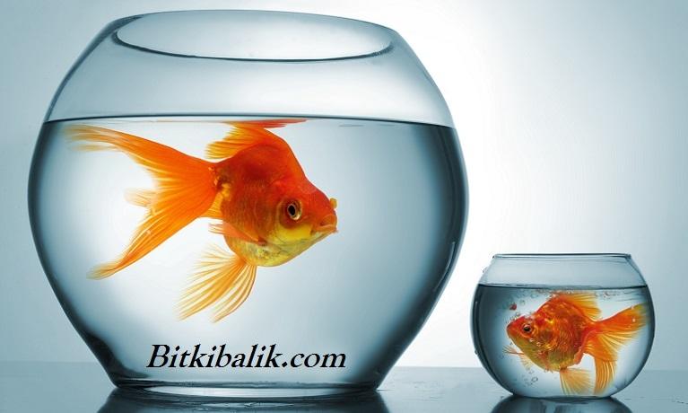 Japon Balığı Ne Kadar Büyür?