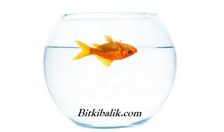 Japon Balığı Neden Ölür?