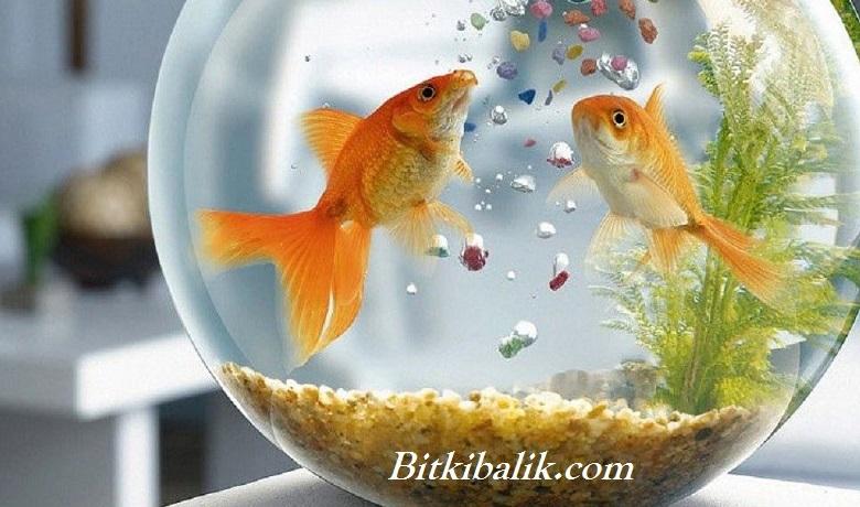 Japon Balığı Yem Tavsiyesi