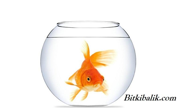 Japon Balığı Yemsiz Kaç Gün Yaşar?
