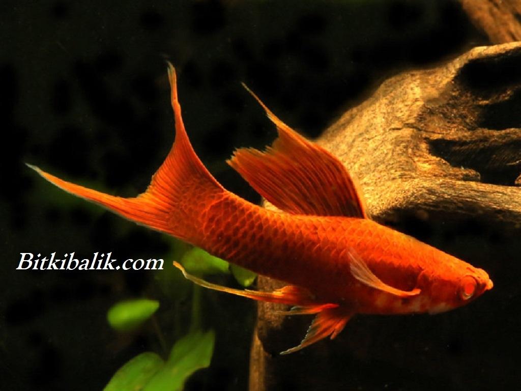 kılıçkuyruk balığı