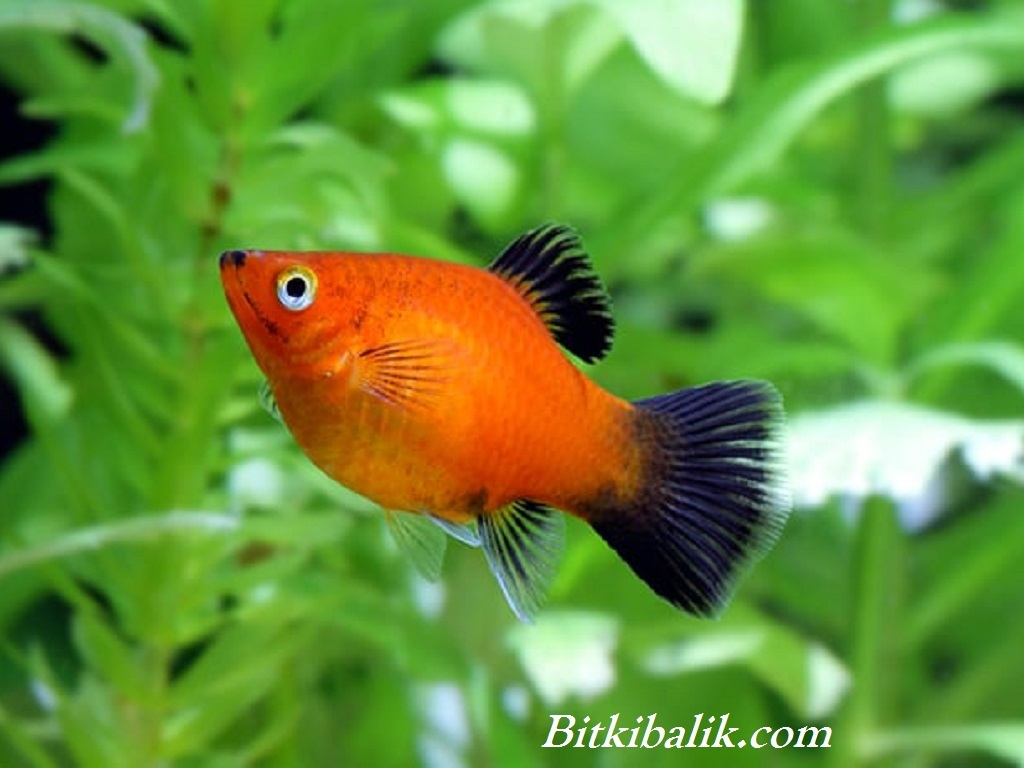 Plati Balığı