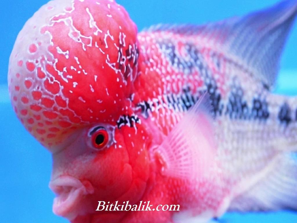 flowerhorn balık modelleri