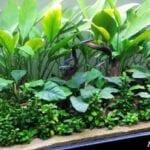 Anubias Bitkisi Akvaryuma Nasıl Dikilir