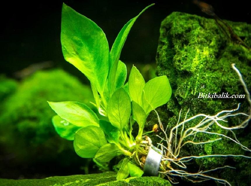 Anubias Bitkisi Nasıl Budanır
