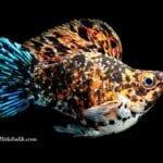 Balon Moli Balığı