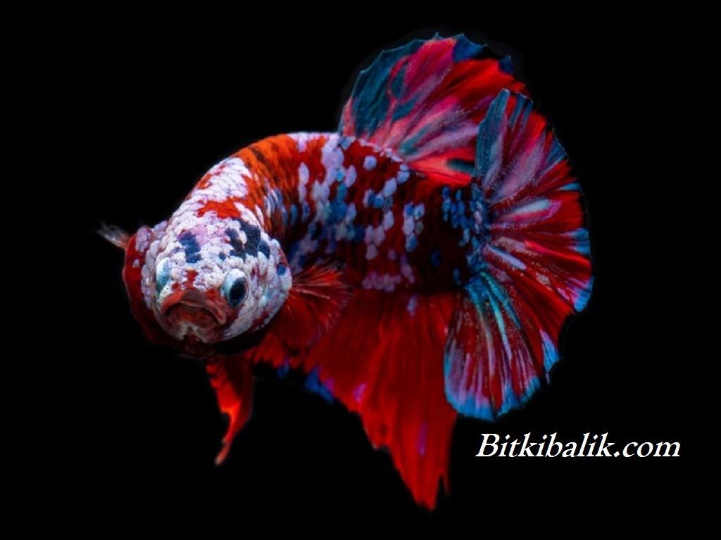Beta Balığı İsimleri