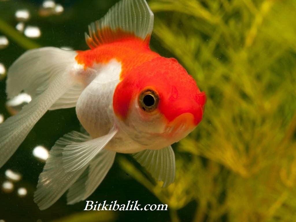 Japon Balığı İsimleri