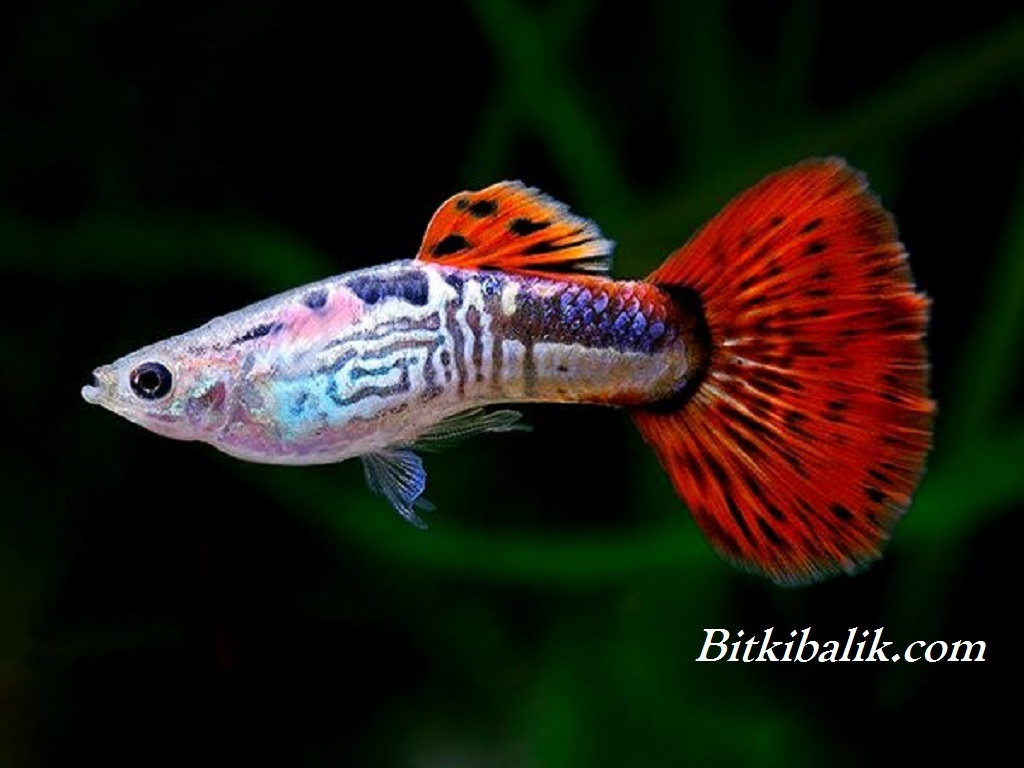 Lepistes Balığı İsimleri