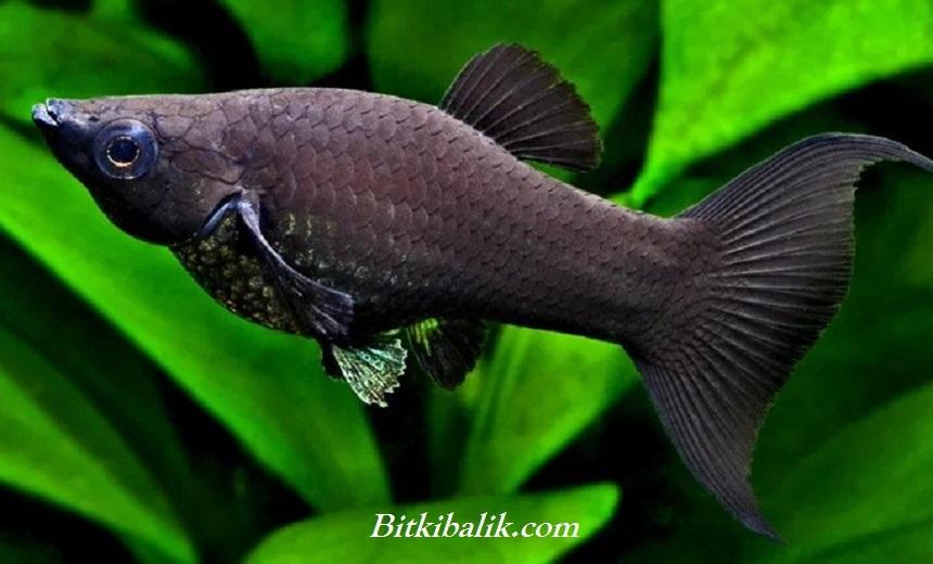 Siyah Moli Balığı