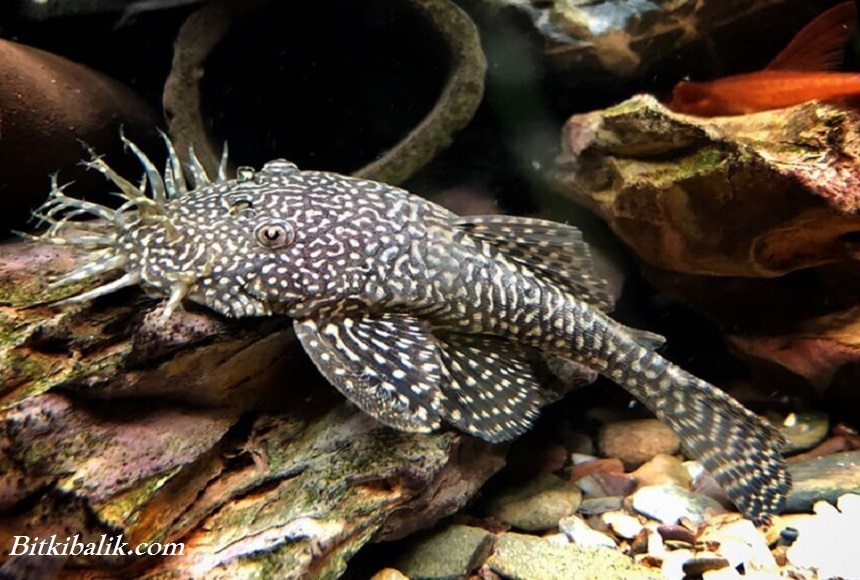Akvaryum Cüce Vatoz Balığı