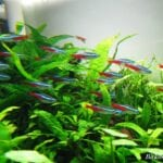 Akvaryum Tetra Balığı Bakımı Nasıl Yapılır