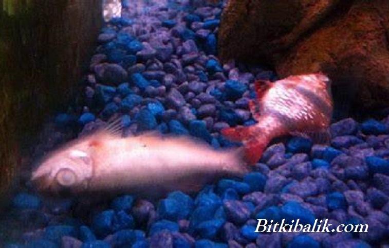 Akvaryumda Balık Ölümü
