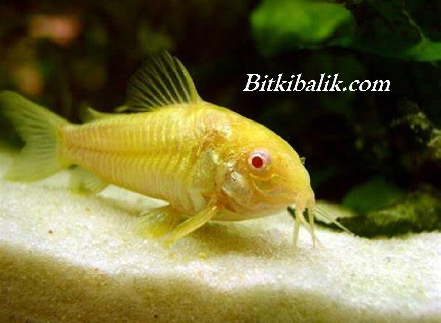 Albino Çöpçü Balığı