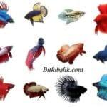 Beta Balığı Çeşitleri