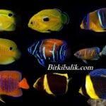 Deniz Akvaryumu Melek Balığı Çeşitleri