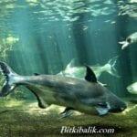 Doğal Pengasus Balığı Habitatı