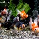 Japon Balığı Çeşitleri