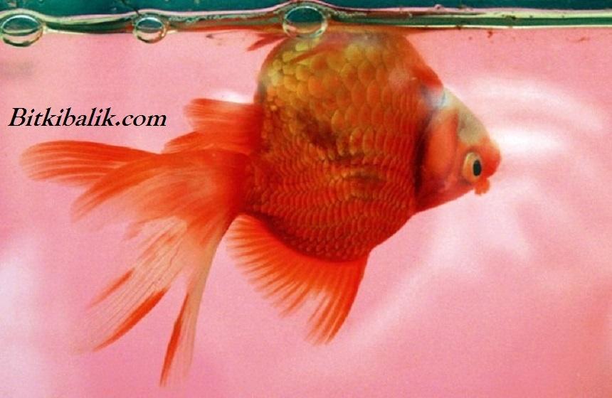 Japon Balığı Neden Ters Yüzer