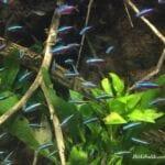 Kardinal Tetra Balığı