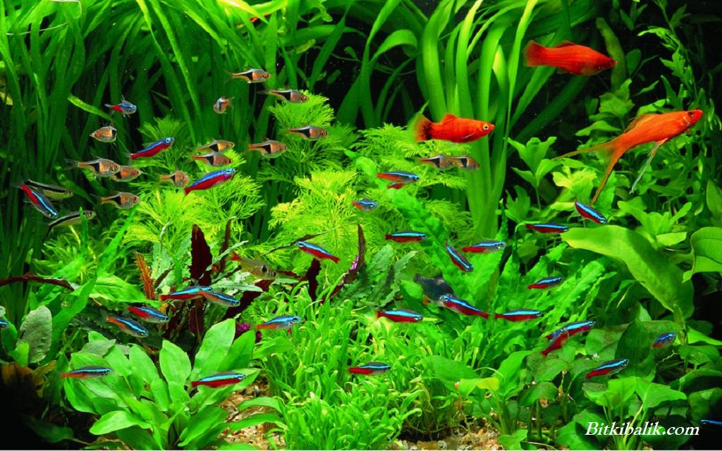 Neon Tetra Balığı İle Uyumlu Türler