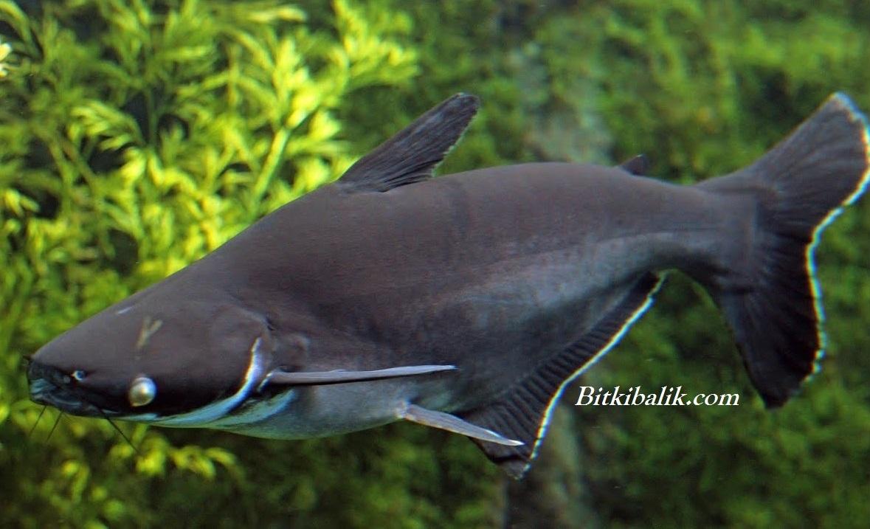 Pengasius Balığı