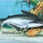 Pengasus Balığı Akvaryumu