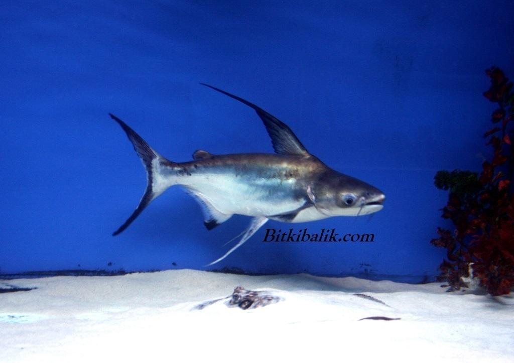 Pengasus Köpek Balığı